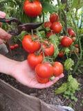 Tomater i hand Royaltyfria Foton
