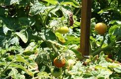 Tomater i natur Royaltyfri Fotografi