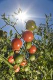 Tomater i solskenet royaltyfria bilder