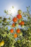 Tomater i solskenet royaltyfria foton