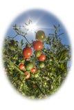 Tomater i solskenet arkivbilder