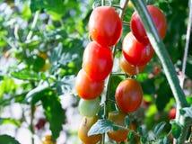 Tomater i trädgården, grönsakträdgård med växter av röda tomater Mogna tomater på en vinranka som växer på en trädgård Röda tomat Fotografering för Bildbyråer