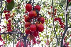 Tomater i trädgården, grönsakträdgård med växter av röda tomater Mogna tomater på en vinranka som växer på en trädgård Röda tomat Arkivbilder