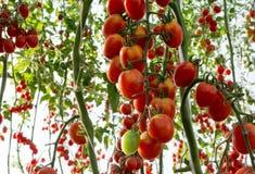 Tomater i trädgården, grönsakträdgård med växter av röda tomater Mogna tomater på en vinranka som växer på en trädgård Röda tomat Royaltyfri Fotografi