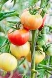 Tomater i växthus Arkivbild