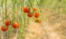 Tomater i v?xthus royaltyfri fotografi
