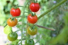 Tomater med grön bakgrund Royaltyfria Bilder