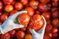 Tomater med sjukt Fotografering för Bildbyråer