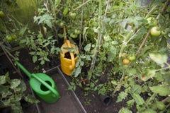 Tomater och bevattnacans i växthus Royaltyfria Bilder