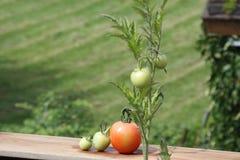Tomater - olika etapper av tillväxt Royaltyfri Fotografi