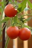 Tomater på stjälk Fotografering för Bildbyråer