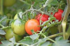 Tomater på vinen Arkivfoto