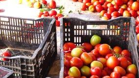 Tomater som skördas i trädgården, Don Duong område, Lam Dong landskap, Vietnam arkivfilmer