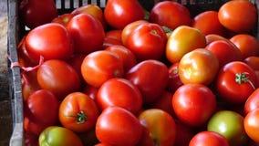 Tomater som skördas i trädgården, Lam Dong landskap, Vietnam arkivfilmer