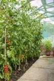 Tomater som växer i ett litet växthus Arkivfoto