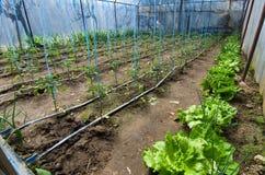 Tomater som växer i växthus Arkivbild