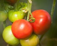Tomater som växer på en filial royaltyfri bild