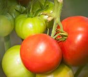 Tomater som växer på en filial fotografering för bildbyråer