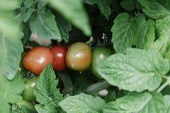 Tomater växer i trädgården arkivfoto