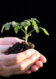 Tomatesämling bevor dem Beeing gepflanzt Stockbilder