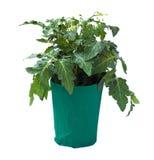 Tomatesämling in einem Blumenpotentiometer Stockfotografie