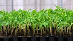 Tomatesämling im Plastiktellersegment Lizenzfreie Stockfotos