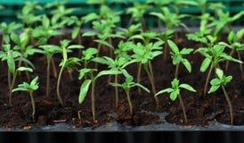 Tomatesämling im Plastiktellersegment Stockfoto
