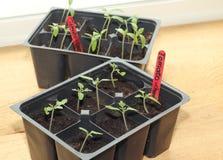 Tomatesämlinge Stockbild