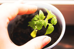 Tomatesämlinge in den Potenziometern Lizenzfreie Stockfotografie