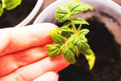 Tomatesämlinge in den Potenziometern Stockfotos