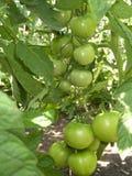 Tomates Imagens de Stock