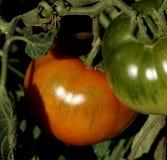 Tomates Foto de archivo libre de regalías