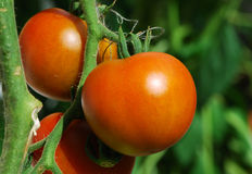 Tomates Photographie stock