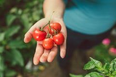 Tomates Image libre de droits