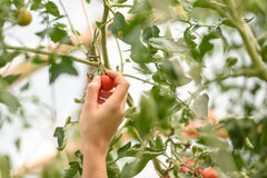 Tomates Photographie stock libre de droits