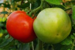 tomates Στοκ φωτογραφία με δικαίωμα ελεύθερης χρήσης