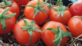 Tomates Imagenes de archivo