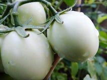 Tomates Photos libres de droits