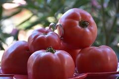 Tomates Στοκ φωτογραφίες με δικαίωμα ελεύθερης χρήσης