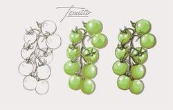 Tomates ajustados do desenho da mão do vetor Foto de Stock Royalty Free