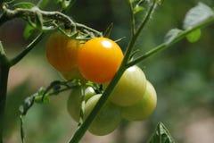 Tomates alaranjados que amadurecem na videira Fotografia de Stock