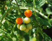 Tomates alaranjados que amadurecem na videira Imagens de Stock Royalty Free