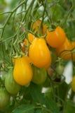 Tomates amarelos Foto de Stock Royalty Free