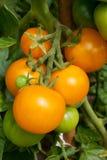 Tomates amarelos Fotos de Stock Royalty Free