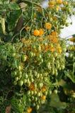 Tomates amarelos de Bush Fotos de Stock