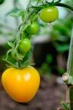 Tomates amarelos e verdes na árvore fotografia de stock