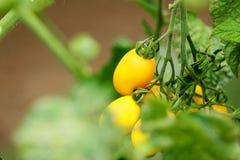 Tomates amarelos no jardim Fotos de Stock Royalty Free