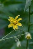 Tomates amarillos de la flor Foto de archivo libre de regalías