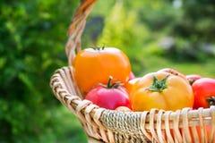 Tomates amarillos y rojos orgánicos escogidos frescos Fotografía de archivo