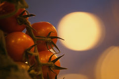 Tomates anaranjados bajo luz artificial del crecimiento Fotografía de archivo libre de regalías